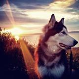 Troy (Alaskan Malamute)