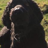 Freddie (Labrador Retriever)