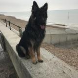 Rolo (German Shepherd Dog)