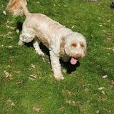 Barney (Cockapoo)