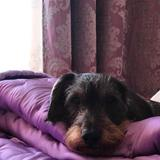 Max (Teckel)