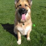 Lady (German Shepherd Dog)