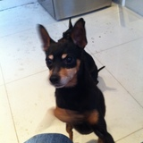 Harry (Miniature Pinscher)