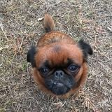 Denver (Brussels Griffon)