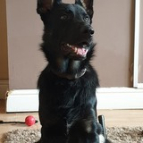 Max (German Shepherd Dog)