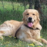 Funky (Golden Retriever)