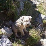 Casseille (Lakeland Terrier)