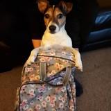 Mollie (Jack Russell Terrier)