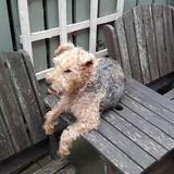 Pixie (Lakeland Terrier)