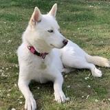 Piper (Siberian Husky)
