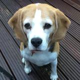 Betty (Beagle)