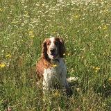 Bertie (Welsh Springer Spaniel)