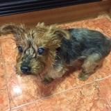 Nora (Yorkshire Terrier)