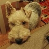 Eddie (Fox Terrier De Pelo Duro)
