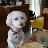 Ruby (Bichon Havanais)