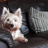 Megan (West Highland White Terrier)
