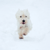 Frodo (West Highland White Terrier)