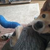 Bella (Jack Russell Terrier)