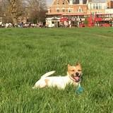 Minus (Jack Russell Terrier)