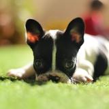 Freya - Bulldog Francés