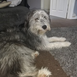 Benny (Bearded Collie)