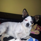 Speedy (Chihuahua)