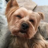 Cuba (Australian Silky Terrier)