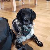Archie (Large Münsterländer)