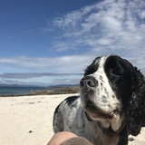 Minnie (English Springer Spaniel)