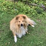 Fenris (Shetland Sheepdog)