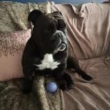 Cola - English Bulldog