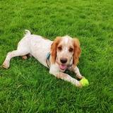 Marley  (Welsh Springer Spaniel)