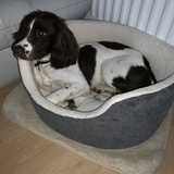 Bertie (English Springer Spaniel)