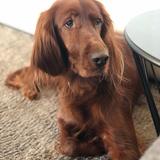 Lola (Setter Irlandés Rojo)