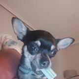 Lola (Chihuahua)