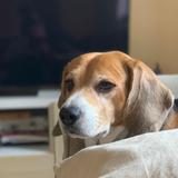 Lupin  - Beagle