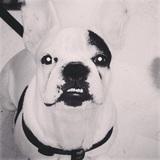 Hércules  (Bulldog Francés)
