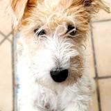 Gala (Fox Terrier De Pelo Duro)