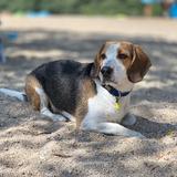 robby - Beagle