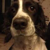 Cassie (English Springer Spaniel)