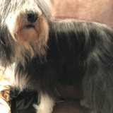 Nala (Bearded Collie)