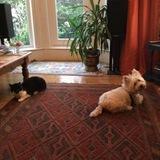Lottie (West Highland White Terrier)