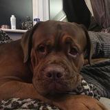 Milo (French Mastiff)