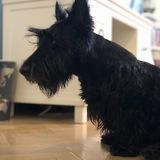Lola - Scottish Terrier