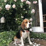 Bailey (Beagle)