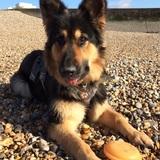 Poppy (German Shepherd Dog)