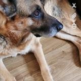 Echo (German Shepherd Dog)
