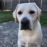 Nala  (Labrador Retriever)