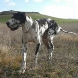 Thor (Dogo Alemán)