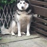 Ruby  (Siberian Husky)